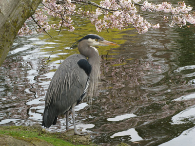Blue Heron Beneath Cherry Blossoms